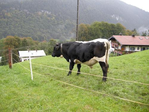 Elektrický ohradník pro hovězí dobytek