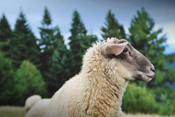Šumavská ovce