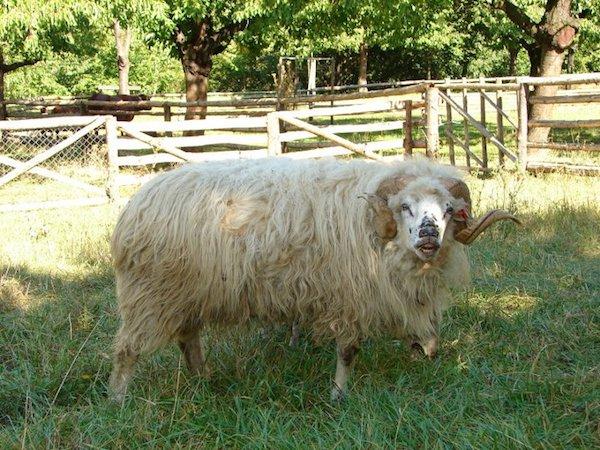 Valašská ovce