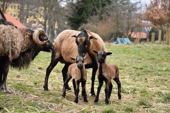 Jak začít chovat ovce