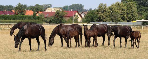 Koně na pastvě, autor Věrka Petroušková