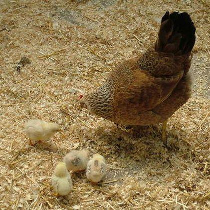 Jaro, čas líhnutí kuřátek!