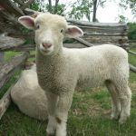 Jak na krmení ovcí
