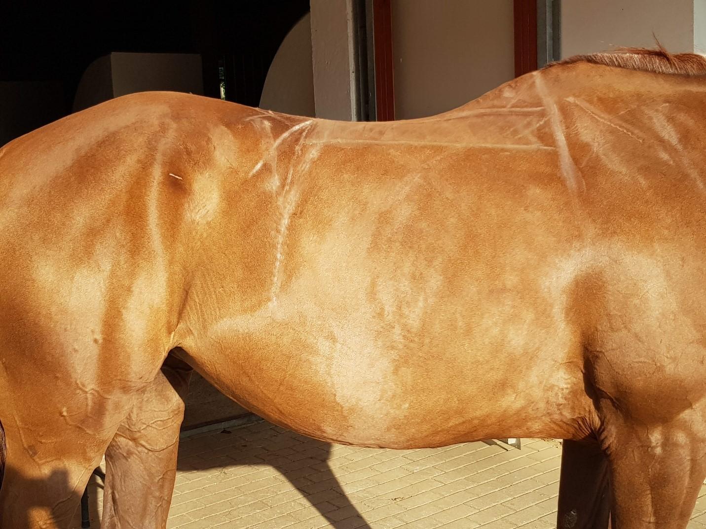 Hotovo - pokreslený kůň - jak má sedlo přiléhat.